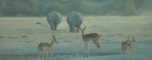 "Have a look at this great video – it is only 6 minutes long, I am sure you have the time. In late 2014, Rhino Conservation Botswana along with Wilderness Wildlife Trust (who we are supporting!) and other stakeholders and funders announced the successful translocation of a small founder population of Critically Endangered black rhino … <p><a href=""http://www.kapp2cape-blog.net/2015/05/where-the-rhino-money-goes/"">Continue reading »</a></p>"