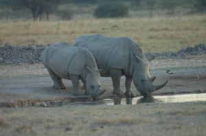 On our way to $1,000 target for rhino conservation