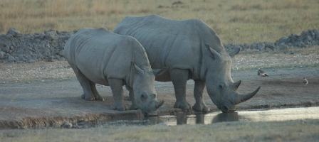 Raising money for Rhino conservation
