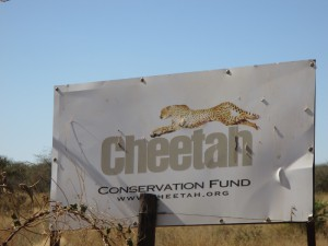 "At the start of our week long visit, when driving north from Windhoek to Etosha, we saw the signboards for Cheetah Conservation Fund (CCF). I had been in contact with them years before when living in the UK, but hadn't realised where they were located in Namibia. Now I knew. We made a mental note … <p><a href=""http://www.kapp2cape-blog.net/2015/06/visit-ccf/"">Continue reading »</a></p>"